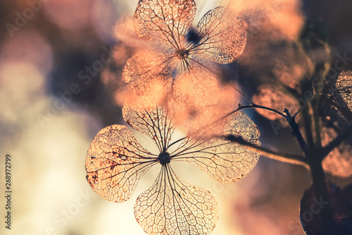 Selective focus on petal of dry hydrangea flower with nature green background Canvas