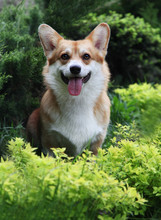 Red And White Welsh Corgi Pembroke Spring/summer Outdoor Portrait In The Green Park/ Forest. Cute Happy And Healthy Dog Walking Off Leash.