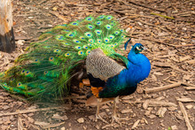Portrait Of Beautiful Peacock With Feathers Out.  Peacock With Fanned Tail