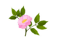 Pink Flower Of Dog-rose. Vector Illustration On White Background.