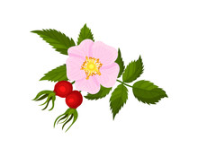 Large Pink Flower With Two Rosehips. Vector Illustration On White Background.