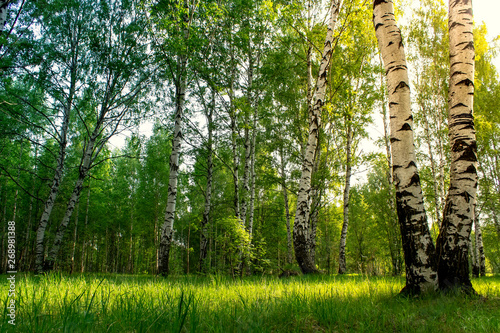 Birch grove background. Morning sunrise in the birch forest.Summer background.