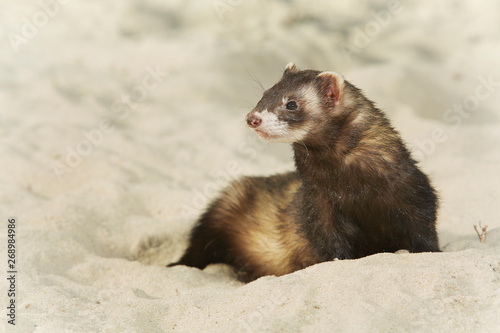 Fototapeta Ferret portrait in beach sand