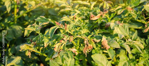 Fotografering  Potato bushes affected by Phytophthora (Phytophthora Infestans) In the field