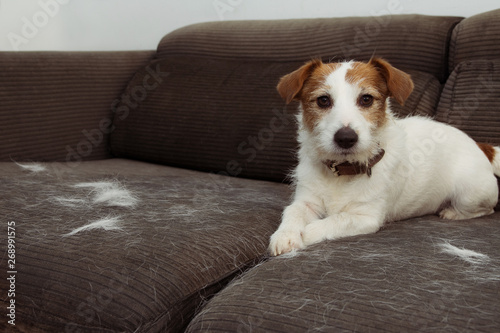 Obraz FURRY JACK RUSSELL DOG, SHEDDING HAIR DURING MOLT SEASON PLAYING ON GRAY SOFA FURNITURE. - fototapety do salonu