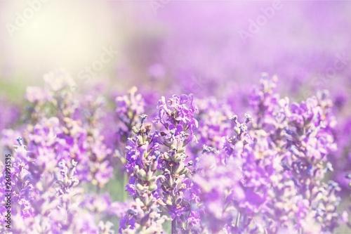 Fototapeta Beautiful violet lavender field, bokeh violet flower background obraz na płótnie
