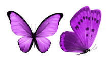 Beautiful Two Purple Butterfli...