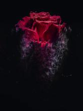Red Rose Like A Sandstorm