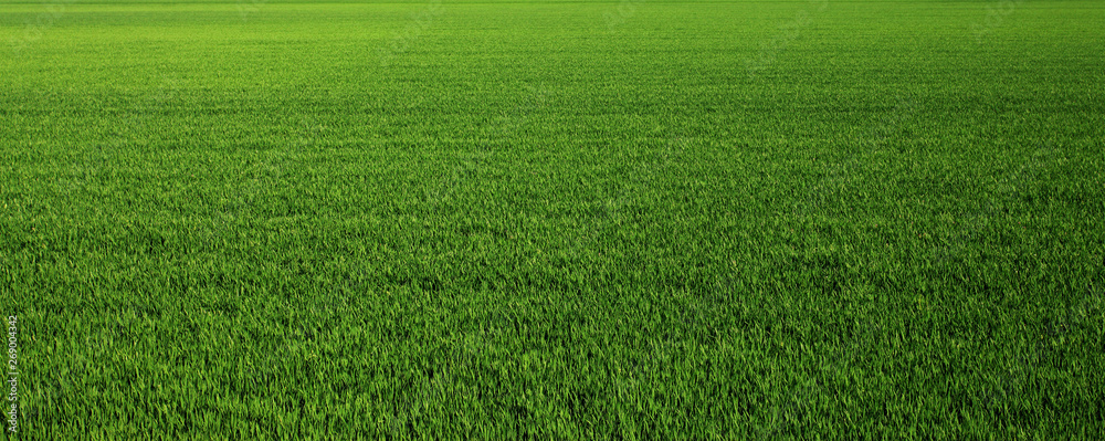 Fototapety, obrazy: Lush green grass meadow background