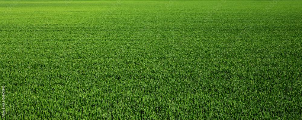 Fototapeta Lush green grass meadow background