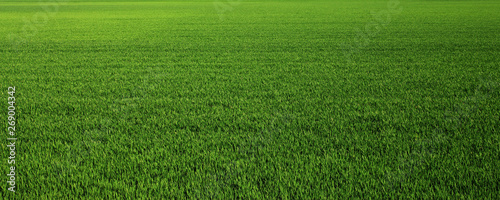 Lush green grass meadow background - 269004342