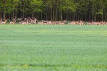 Herd Of Deers Of Green Field N...