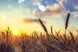 Sun Shining over Golden Barley / Wheat Field at Dawn / Sunset