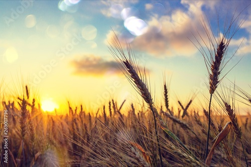 Fotobehang Cultuur Sun Shining over Golden Barley / Wheat Field at Dawn / Sunset
