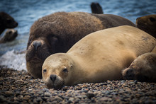 Female Of A Sea Lion Lying On The Pebble Beach On The Coast Of Argentina