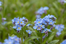 Blue Forget-me-nots, Myosotis Sylvatica,a Grass Of A Scorpion, Flower On The Spring Meadow