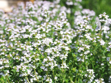Blooming Thyme In A Herb Garden
