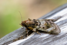 Image Of Brown Moth (Nannoarct...