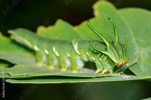 Image of Caterpillar of common nawab butterfly (Polyura athamas) or Dragon-Headed Caterpillar on nature background Wallpaper Mural