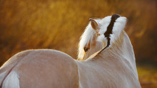 A Free Beautiful Horse Look Back On The Field In The Sunset. Portrait Of Norwegian Fjord Pony Close Up.