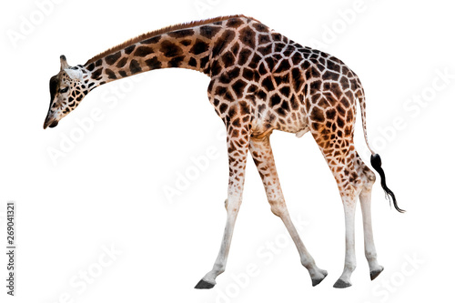 Photo sur Toile Girafe giraffe with head down isolated
