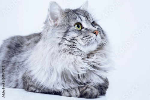 Funny large longhair gray tabby cute kitten with beautiful big eyes. Pets and lifestyle concept. Lovely fluffy cat on grey background.