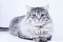 Funny Large Longhair Gray Tabby Cute Kitten With Beautiful Big Blue Eyes. Pets And Lifestyle Concept. Lovely Fluffy Cat On Grey Background.