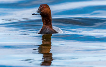 Redhead Duck Swimming In A Lak...