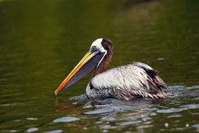 The Brown Pelican (Pelecanus Occidentalis) On The Surface Of The Pond. Pelican On Dark Water.