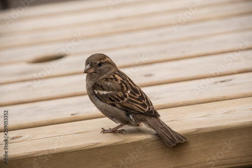 House sparrow on wooden table Wallpaper Mural