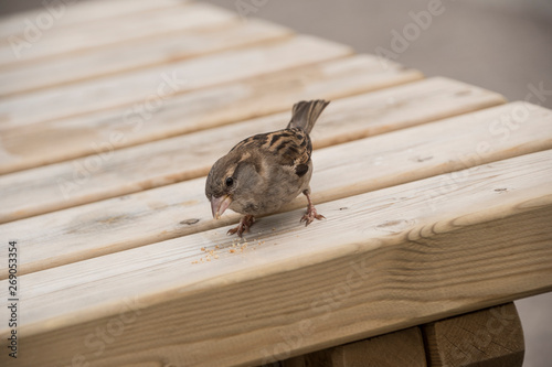Canvas Print House sparrow on wooden table