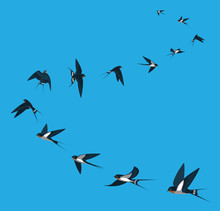 Swallow Flying Moving Animal Animation Sequence Cartoon Vector