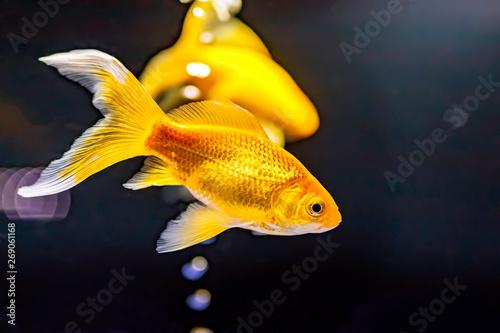 金魚(ゴールデンコメット)
