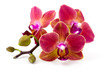 Beautiful colorful orchid - phalaenopsis - white background