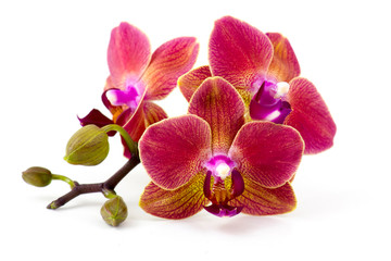 Fototapeta na wymiar Beautiful colorful orchid - phalaenopsis - white background