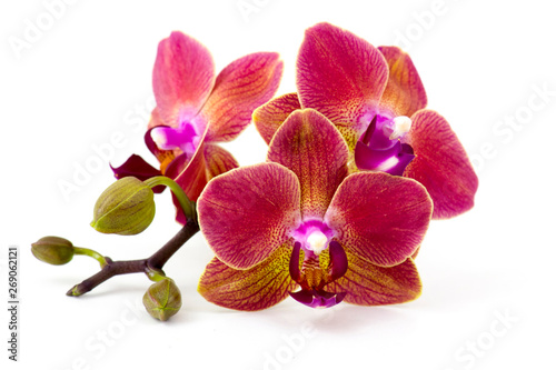 Cuadros en Lienzo Beautiful colorful orchid - phalaenopsis - white background