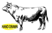 Big Young Bull. Cow. Drawing By Hand In Vintage Style. Children's Drawing. Meat, Beef. Farm Products.