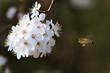 Pszczoła lata blisko kwitnących kwiatów na wiosnę