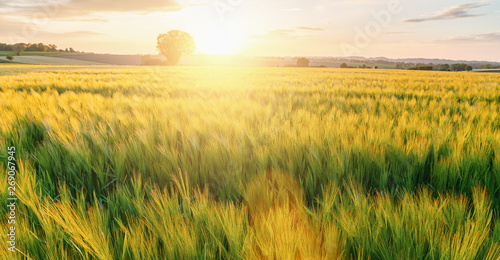 Foto auf Leinwand Honig fresh Wheat flied with tree at sunset with clouds, agriculture concept image