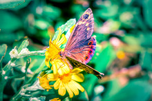Beautiful Brown Butterfly Sitting Resting On Yellow Daisy Flower, Cape Town, South Africa