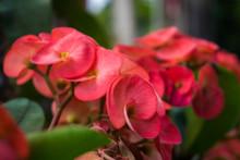 Crown Of Thorns Red Pink Flowe...