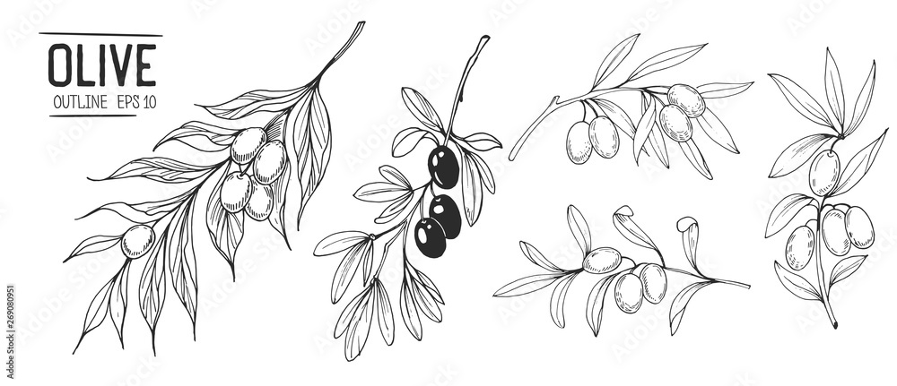 Fototapety, obrazy: Olive branches. Hand drawn illustration. Vector outline with transparent background