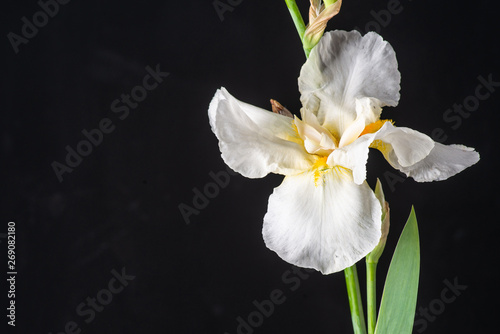 white iris on black background