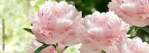 Cadres-photo bureau Fleuriste Bouquet of Pink Pionies closeup on a blurred green background