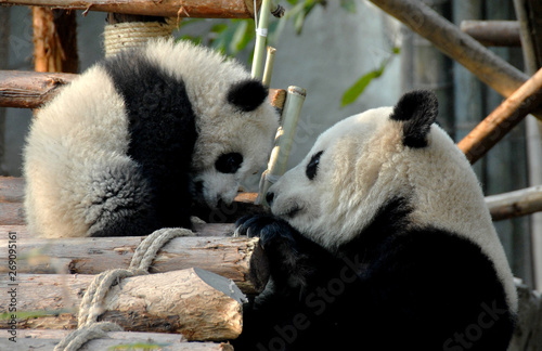 Foto auf AluDibond Pandas Panda mother and cub at Chengdu Panda Reserve (Chengdu Research Base of Giant Panda Breeding) in Sichuan, China. Two pandas looking at each other.