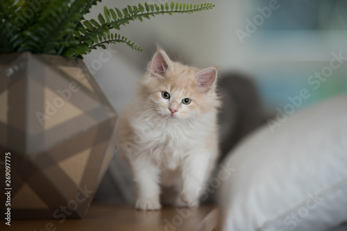 Fototapeta red cream colored maine coon kitten next to a plant pot that is shaped like an icosahedron obraz na płótnie
