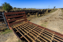 Cattle Grid In Use In A Cattle...
