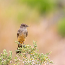 Say's Phoebe On Bush In Central New Mexico