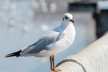 Seagull Bird Portrait Against Seashore. Close Up View Of Bird Seagull Standing On The Edge Of The Bridge.
