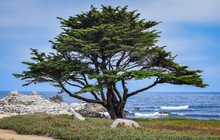 A Lone Monterey Cypress Tree (...